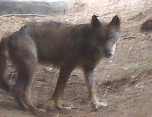 Wolf in IWRC, Portugal